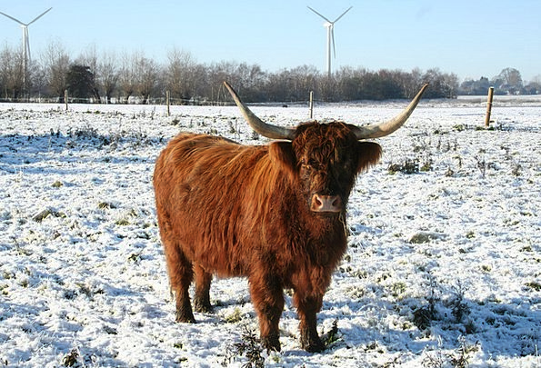 Cow Intimidate Cattle Cows Highland Cattle Scottis