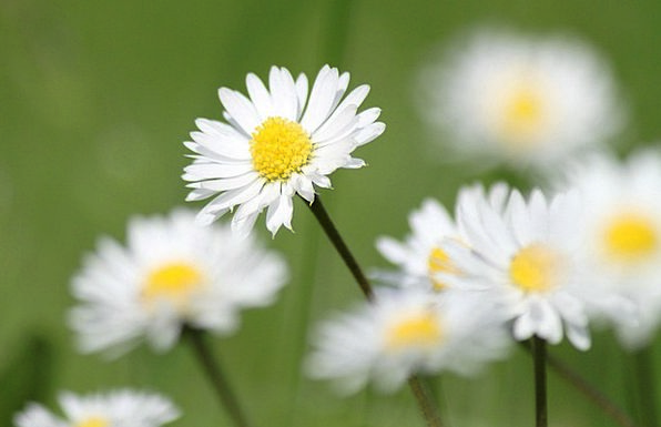 Daisy Landscapes Plants Nature Nature Countryside
