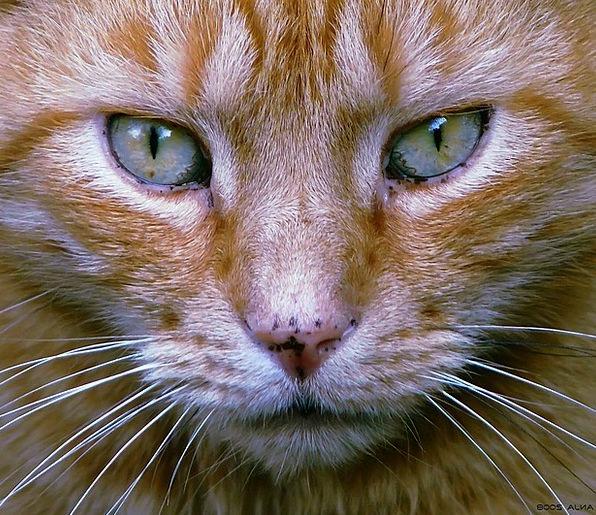 Cat Feline Domesticated Cat Face Pet Animal Portra