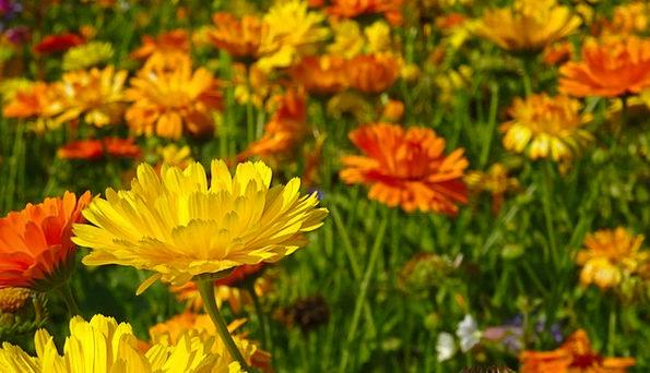Marigold Plants Blütenmeer Flowers Flower Meadow F