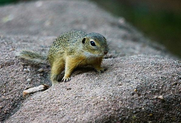 Ground Squirrel Landscapes Faunae Nature Nature Co