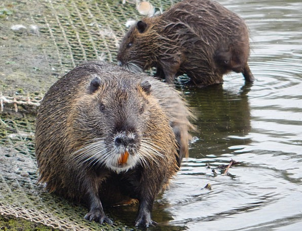 Muskrat Swine Rodent Rat Nager Pond Animal Nature