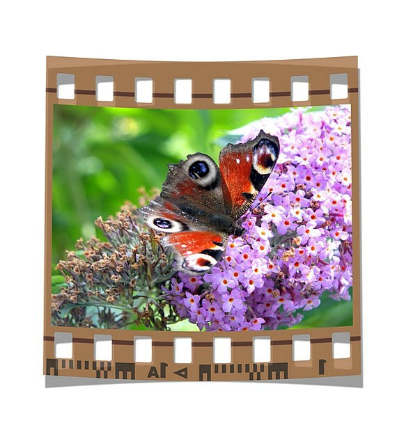 Butterfly Annexes Color Hue Wings Frame Antennae F