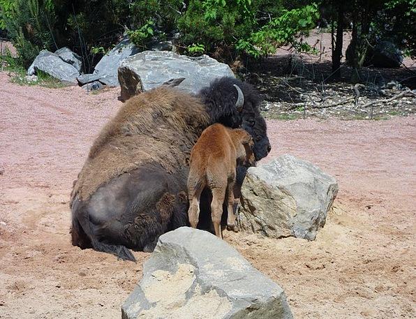 Buffalo Intimidate Physical Young Animal Animal