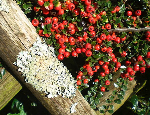 Cotoneaster Landscapes Nature Plant Vegetable Berr