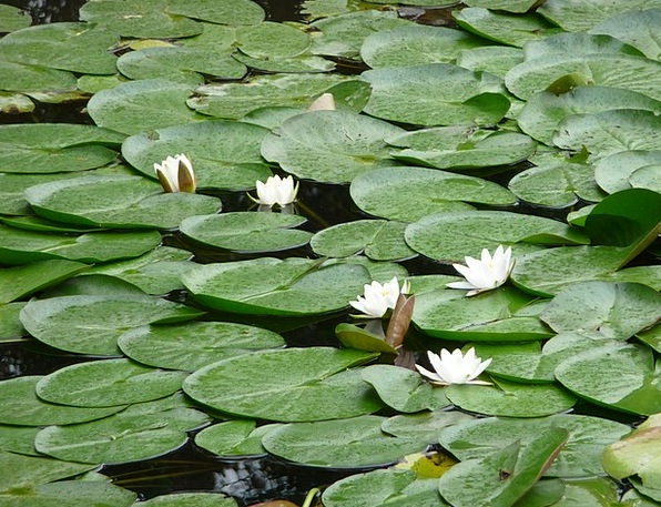 Lily Pad Landscapes Pool Nature Water Aquatic Pond
