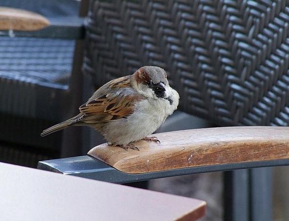 Sparrow Fowl Sperling Bird House Sparrow Birds Ani