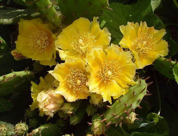 Cactus Yellow Cactus Flower Cactus Flower