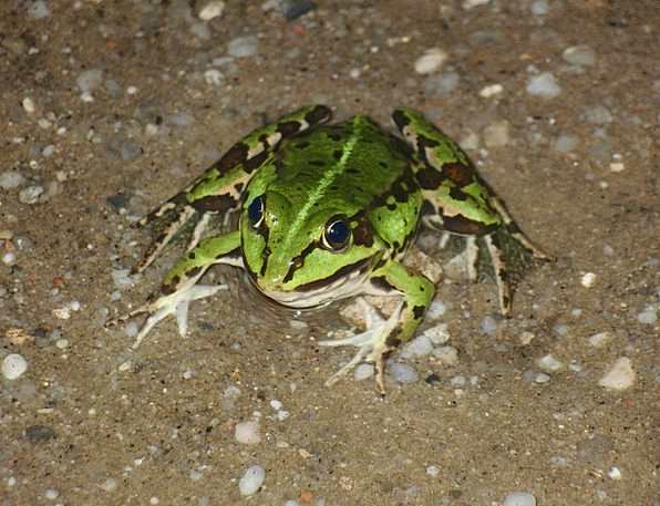 Frog Physical Green Lime Animal Nature Countryside
