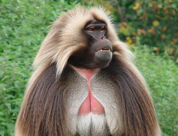 Chelada Ape Wild Animal Monkey