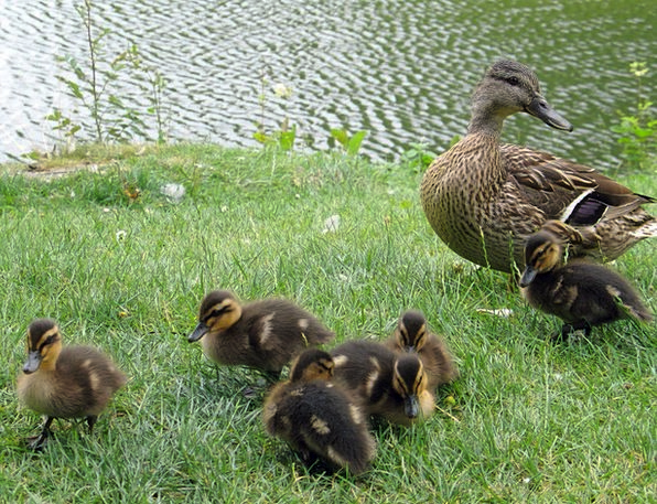Tiny Minute Ducklings Duckling Duck Stoop Lake Gra