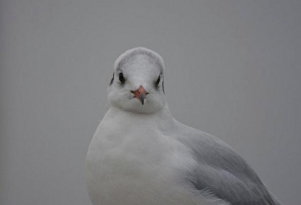 Seagull Species Class Black Headed Gull Animals Fa
