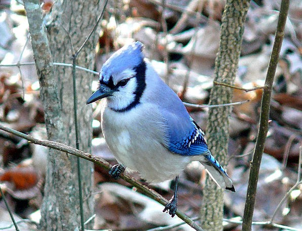 Blue Jay Fowl Feather Quill Bird Wildlife Colorful