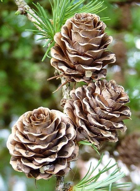Larch Cones Landscapes Blow Nature Conifer Tap Lar