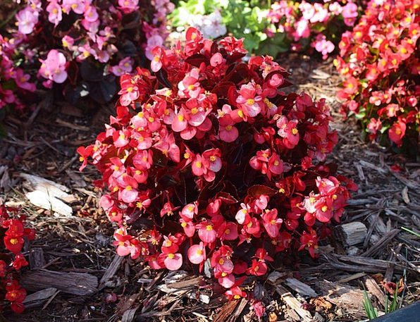 Begonia Landscapes Nature Flower Floret Bloom Plan