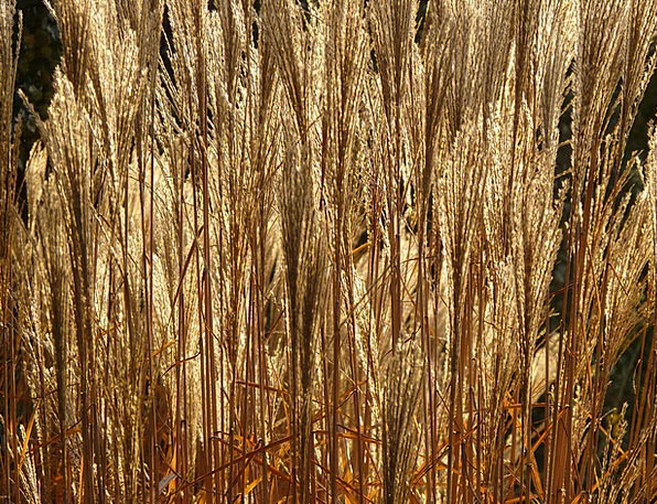 Miscanthus Back Light Taillight Miscanthus Sinensi