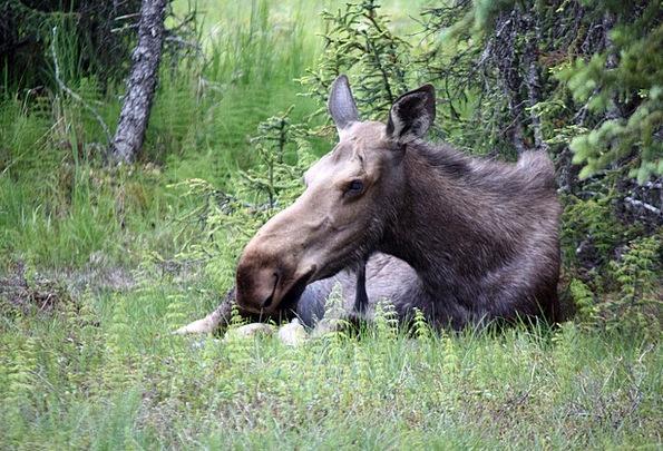 Moose Homer Alaska