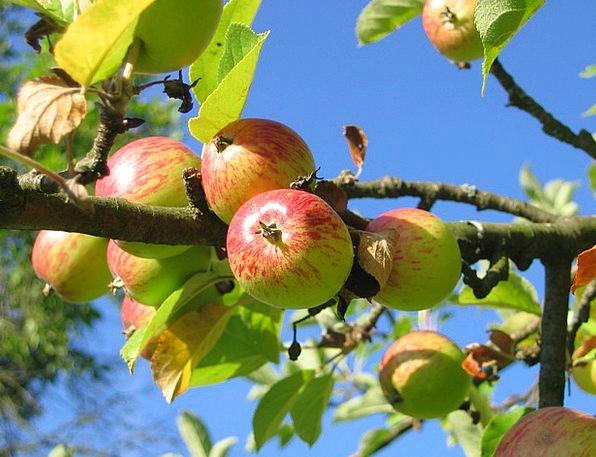 Apple Tree Plantation Apfelernte Orchard
