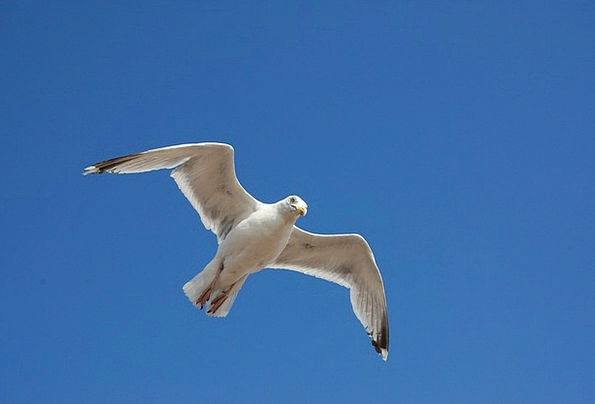 Bird Fowl Sky Blue Seagull Animal World Nature Cou