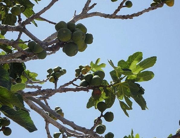Fig Drink Food Real Coward Fig Tree Tree Figs Fig