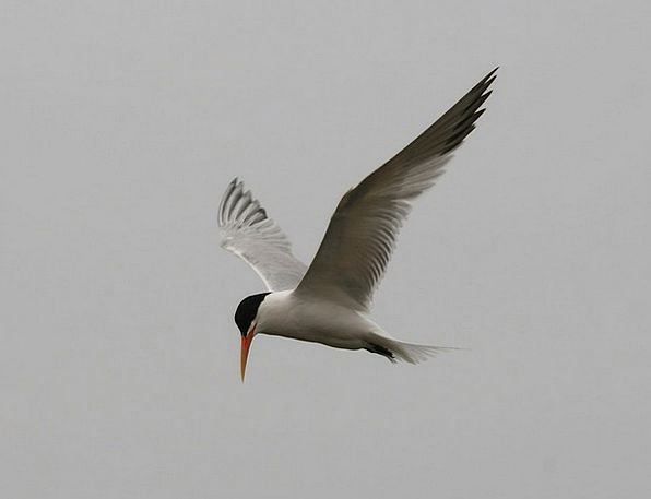 Tern Fowl Avian Bird Wings Annexes Fly Wetlands Ho