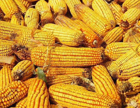 Corn Goo Yellow Creamy Wheat Agriculture Farming A