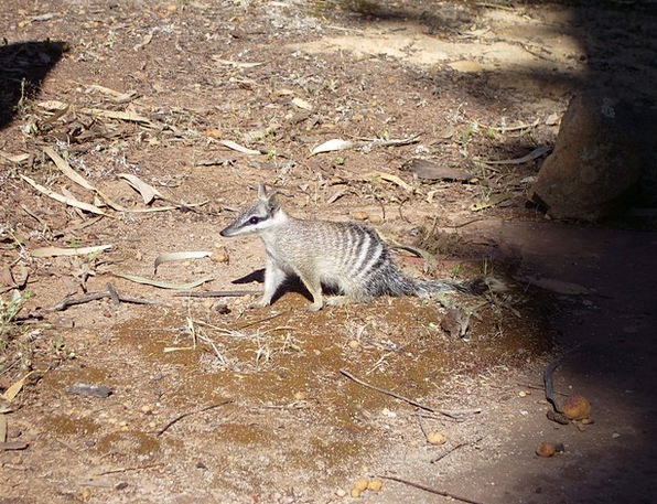 Numbat Rodent Ants Beutler Cute Animal Physical An