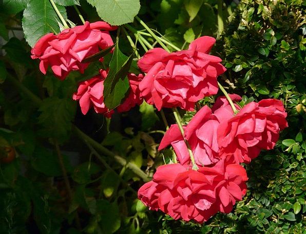 Red Roses Design Flower Floret Rose Roses Designs