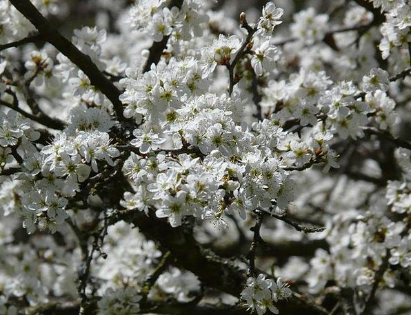 Blackthorn Hedge Hedgerow Prunus Spinosa Rosaceae