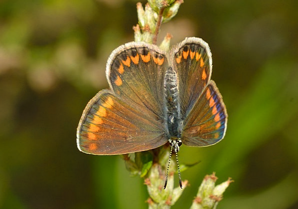 Butterflies Nerves Icarus Polyommatus Female Femin