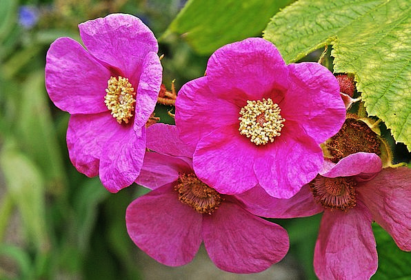 Raspberry Landscapes Nature Flower Floret Purple F
