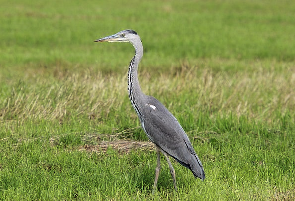 Grey Heron Heron Ardea Cinerea Bird Fowl Eastern A