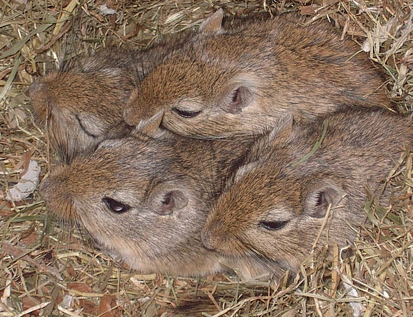 Mongolian Gerbils Pests Gerbils Mice Mouse Mongoli