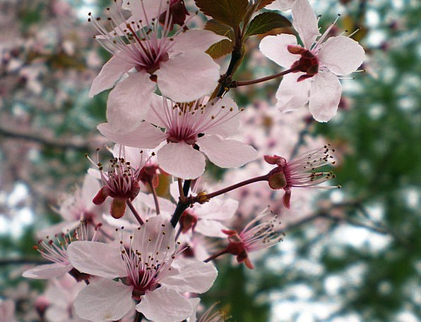 Plum Desirable Sapling Flowers Plants Tree Foliage