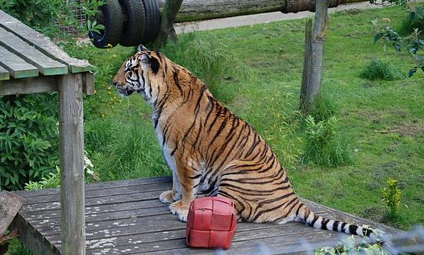 Tiger Feline Catlike Big Cat Close-Up Detail Wildl