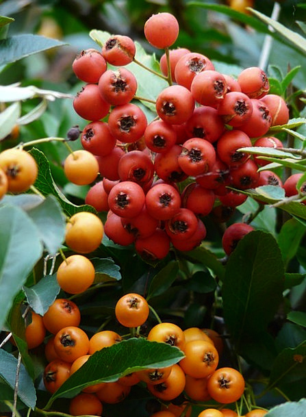Firethorn Ovaries Berries Fruits Periwinkle Hybrid