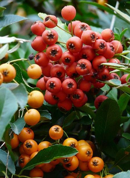 Firethorn Ovaries Berries Fruits Periwinkle Hybrid