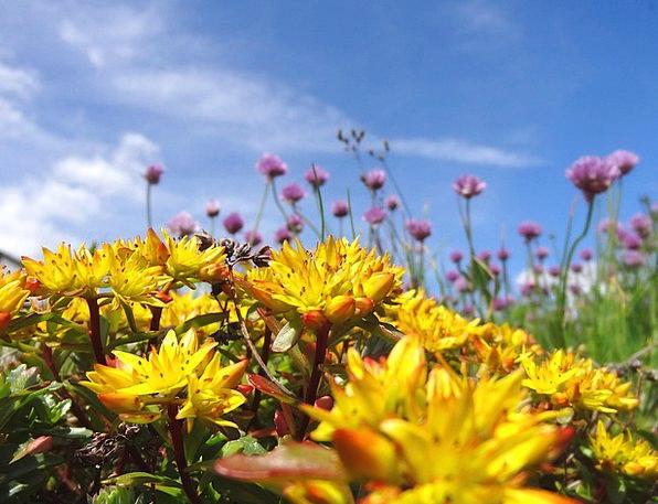 Sedum Summer Straw-hat Stonecrop Flowers Plants Ch