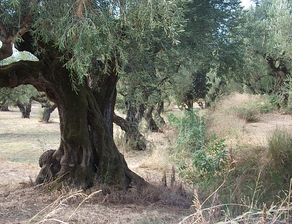 Olive Trees Landscapes Plants Nature Nature Countr