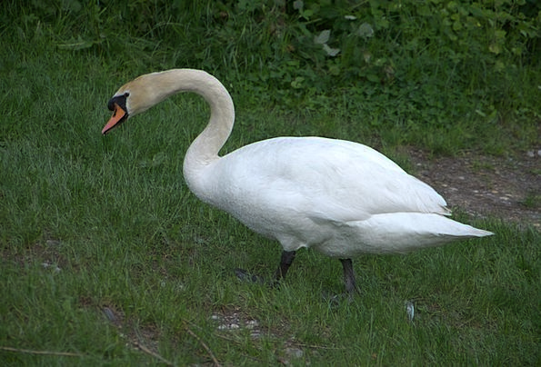 Swan Wander Understand Animal Physical See Bird Fo