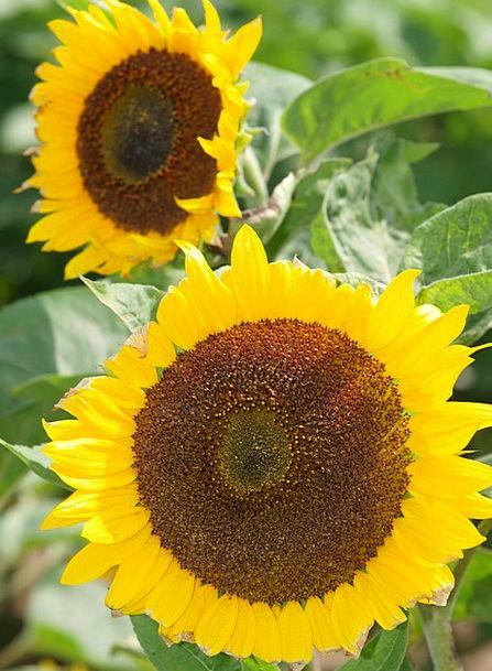 Sun Flower Floret Yellow Creamy Flower Brown Choco
