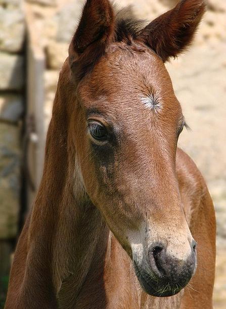 Animals Faunae Horse Mount Foal French Saddle Port
