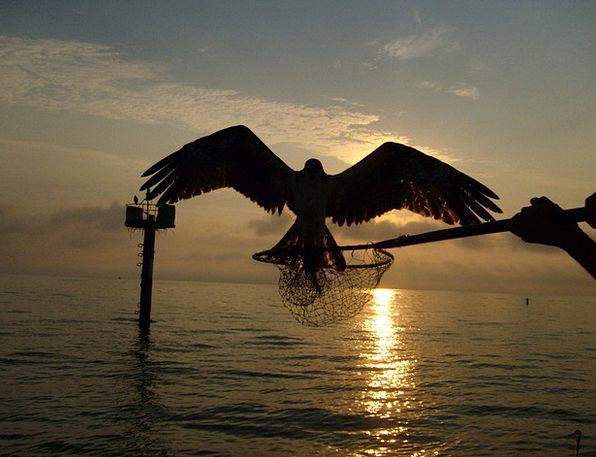 Osprey Fowl Predator Marauder Bird Raptor Chesapea