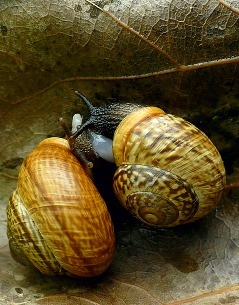 Snail Link Brown Chocolate Coupling