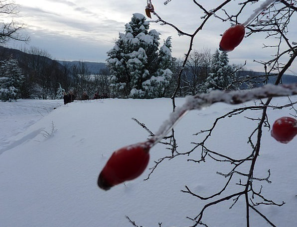 Wintry Chilly Frozen Ice-covered Rose Hip