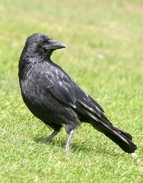 Bird Fowl Birds Natures Blackbird Standing Stand-u