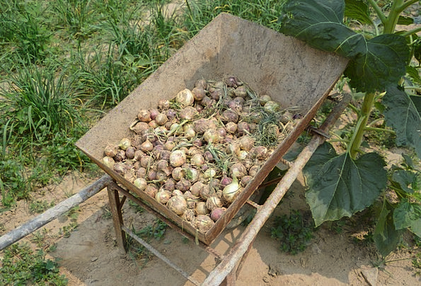 Onions Crop Pile Mound Harvest Wheel Barrel Vegeta