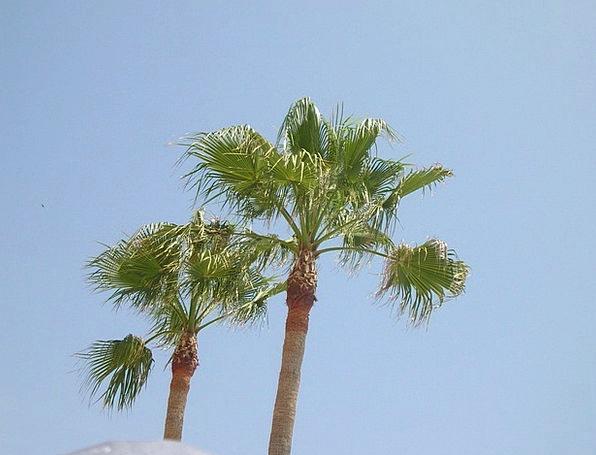 Palma Palm Tribute Palm Trees Foliage Greenery Tro