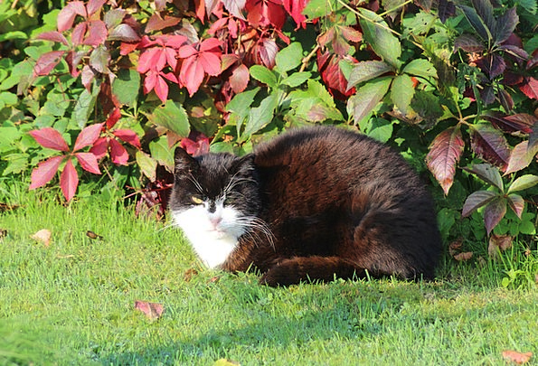 Cat Feline European Domestic Cat Short Hair Animal