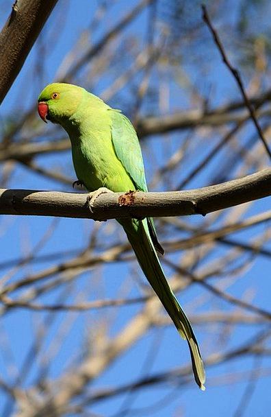 Parrot Imitator Lime Birds Natures Green Bird Fowl